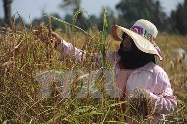 Tailandia vendera 10 millones de toneladas de arroz al exterior hinh anh 1