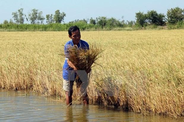 Laos impulsa produccion de arroz de alta calidad hinh anh 1