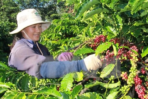 Sector cafetero vietnamita busca crecerse ante dificultades hinh anh 1