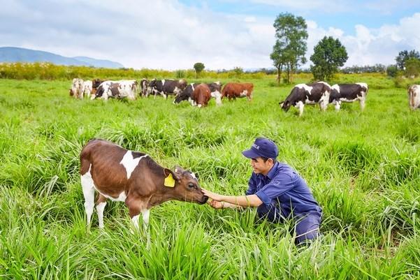 Inauguran primera granja de vacas lecheras organicas en Vietnam hinh anh 1