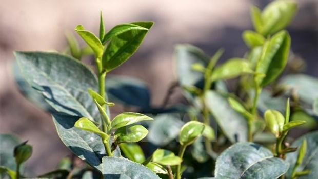 Avizoran futuro prometedor de te de Vietnam en mercado estadounidense hinh anh 1