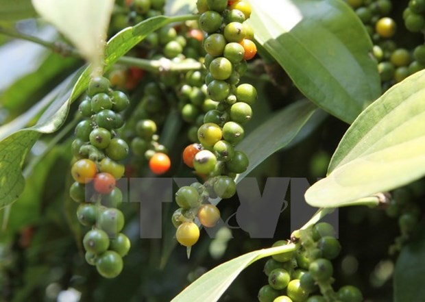 Vietnam busca incrementar tasa de cafe procesado hinh anh 1
