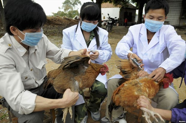 Provincia vietnamita trabaja para prevenir gripe aviar hinh anh 1