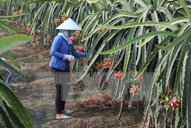 Vietnam exportara gran volumen de pitahayas de pulpa roja a Japon hinh anh 1