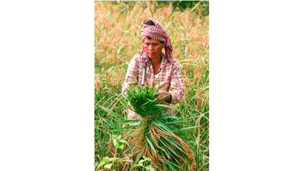 Camboya prohibe importacion de pesticida Tricyclazole a peticion de UE hinh anh 1