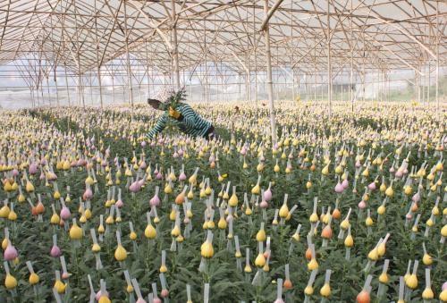 Empresa japonesa invierte en floricultura en Vietnam hinh anh 1