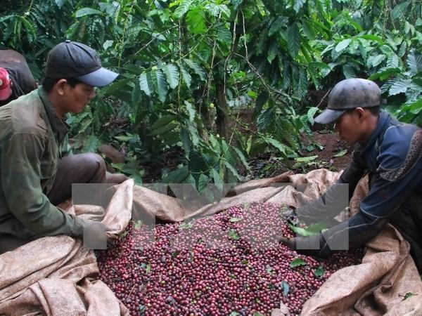 Sector cafetero de Vietnam por fomentar capacidad de adaptacion al cambio climatico hinh anh 1