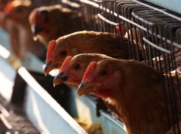 Arabia Saudita suspende importaciones de aves de corral de Vietnam hinh anh 1