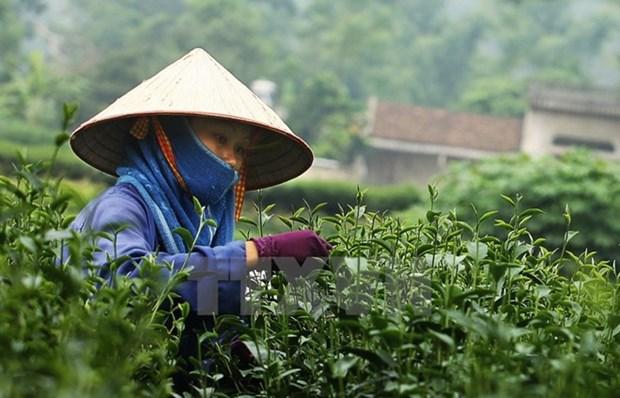 Sudcorea ofrece asistencia a Vietnam en cultivo de te hinh anh 1