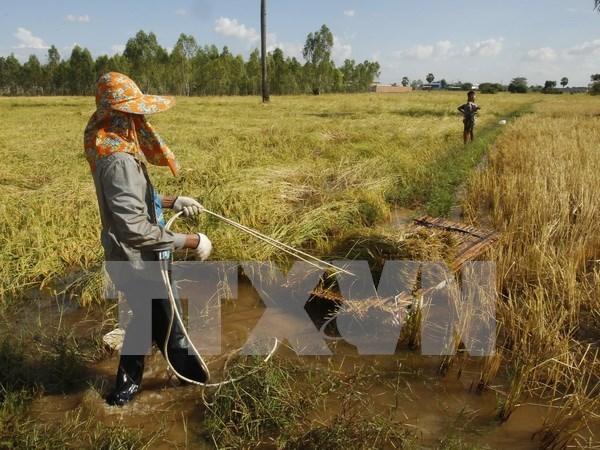 Provincia vietnamita busca desarrollar su marca de arroz hinh anh 1