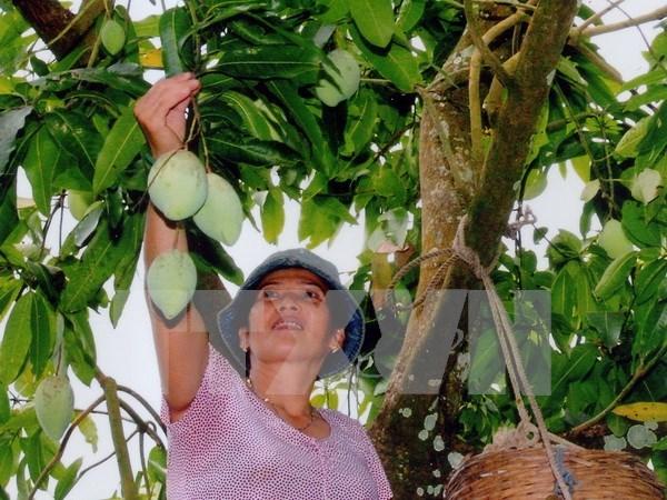 Mangos de provincia norvietnamita conquistaran mercado australiano hinh anh 1