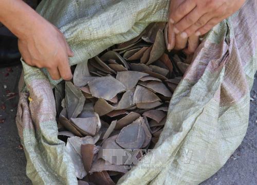 Malasia decomisa 712 kilogramos de escamas de pangolin hinh anh 1