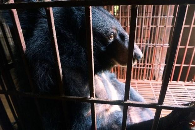 Vietnam se empena en poner fin al negocio de bilis de oso hinh anh 1