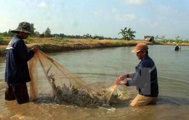 Provincia vietnamita se esfuerza por desarrollo sostenible de industria camaronera hinh anh 1