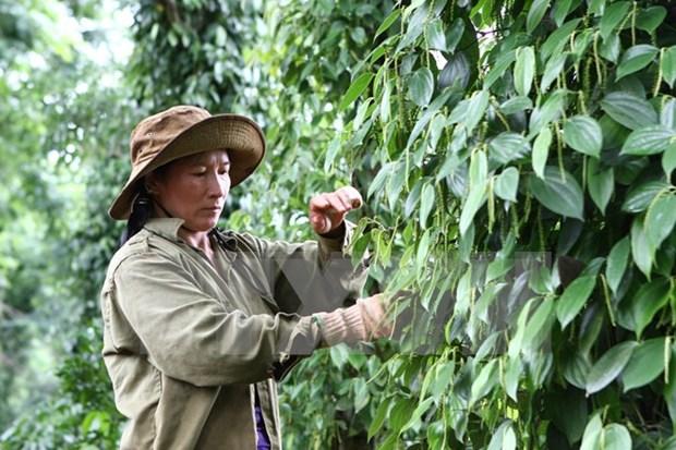 Empresas japonesas invierten en agricultura organica en Vietnam hinh anh 1
