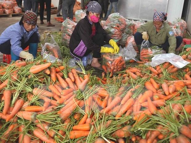 Vietnam registra gran aumento de exportaciones de verduras hinh anh 1
