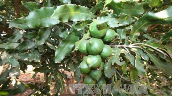 Quang Tri busca desarrollar el cultivo de macadamia hinh anh 1