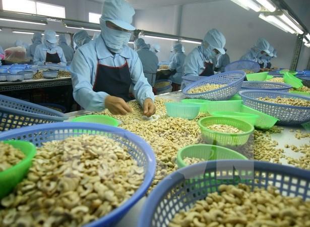 Exportaciones de anacardo de Vietnam alcanzaran 360 mil toneladas hinh anh 1