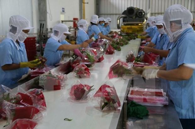 Pitahaya de Vietnam esta presente en 40 mercados hinh anh 1
