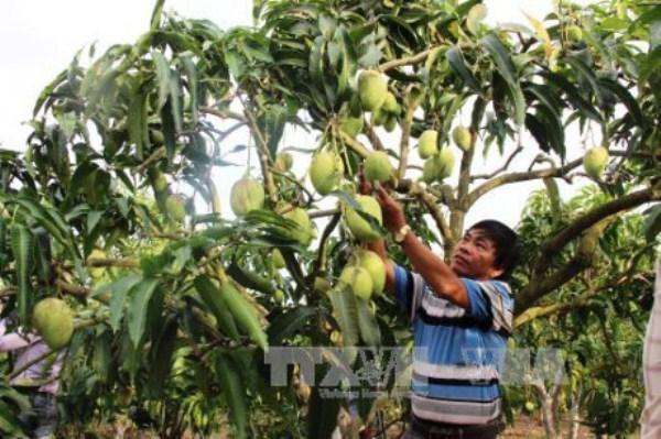 Vietnam exportara mango a Australia hinh anh 1