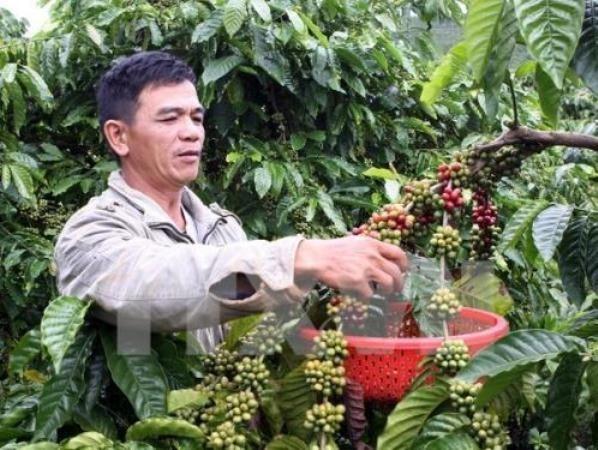 Cafe robusta de Buon Ma Thuot presente en numerosos paises hinh anh 1