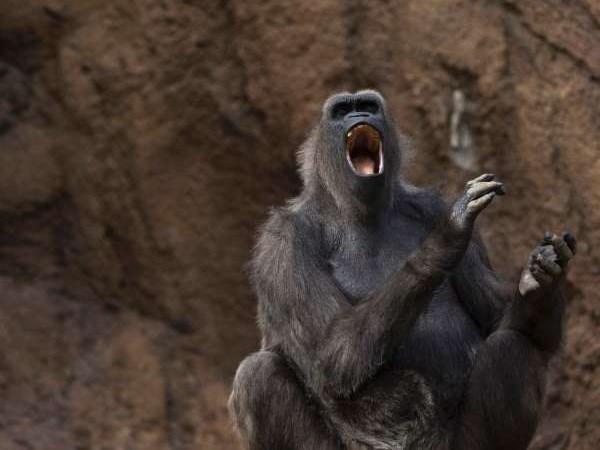 Detectan en Vietnam a monos langures, una especie en peligro de extincion hinh anh 1