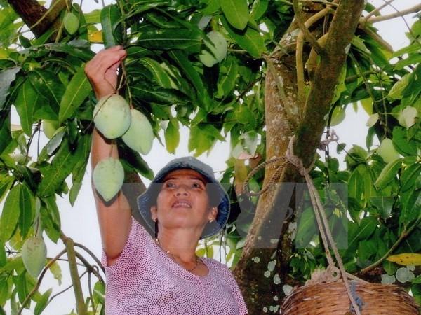 Empresa vietnamita aumentara exportacion de mango a Australia hinh anh 1