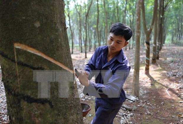Tailandia, Indonesia y Malasia buscan reducir exportaciones de caucho hinh anh 1
