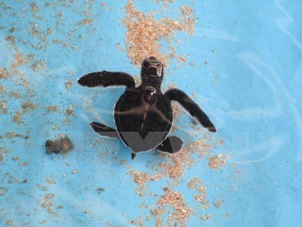 Vietnam protege a tortugas marinas hinh anh 1