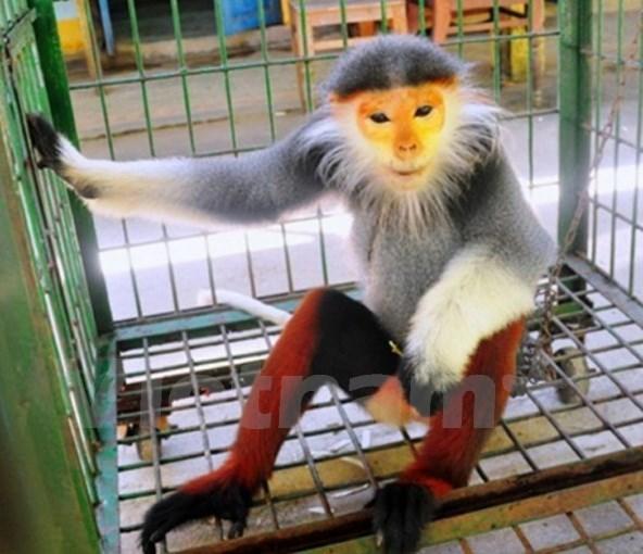 Entregan primate en peligro de extincion al Parque Nacional de Cuc Phuong hinh anh 1