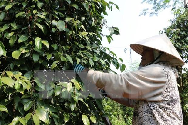 Mas de 2,1 millones de agricultores vietnamitas reciben prestamos crediticios hinh anh 1