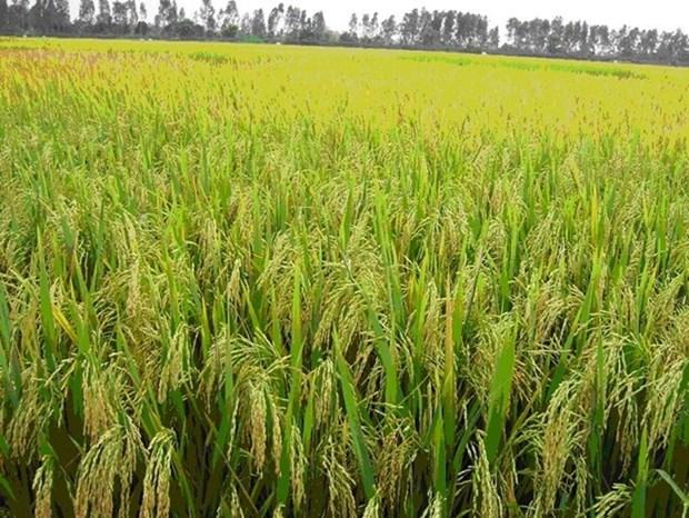 Localidad vietnamita y empresa australiana cooperan en exportaciones de arroz hinh anh 1
