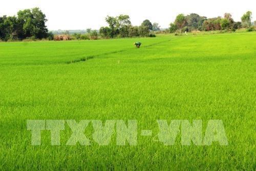 Hau Giang experimentara productos biologicos sudcoreanos sobre arroz hinh anh 1