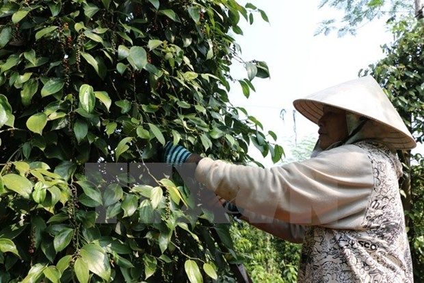Exportaciones de pimienta de Indonesia crecen mas de 16 por ciento hinh anh 1