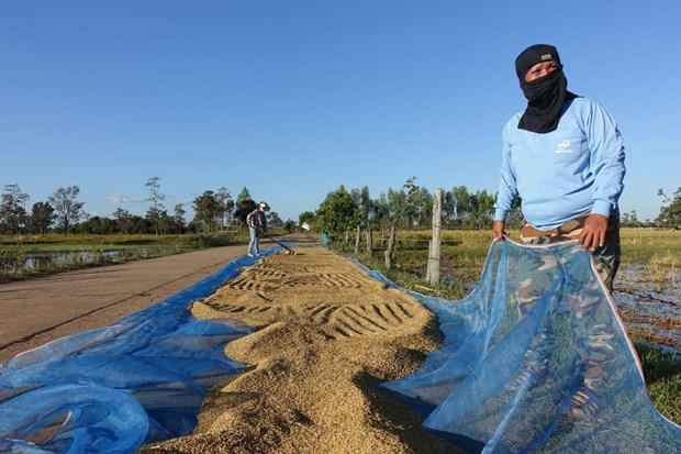 Tailandia aprueba paquete financiero a favor de cultivadores de arroz hinh anh 1