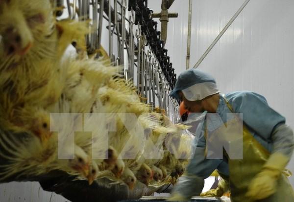 Union Europea, prometedor mercado de carne de pollo vietnamita hinh anh 1