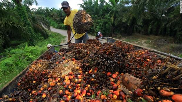 Indonesia puede suministrar ocho millones de toneladas de aceite de palma a Europa hinh anh 1