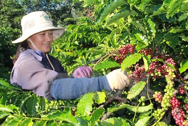 Lam Dong acogera primer Dia del Cafe de Vietnam hinh anh 1