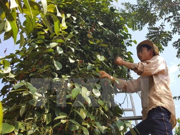 Exploran oportunidad de promocion de marca comercial de pimienta vietnamita hinh anh 1