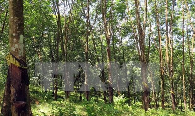 Firman Vietnam y Laos contrato de cultivo y procesamiento de caucho hinh anh 1