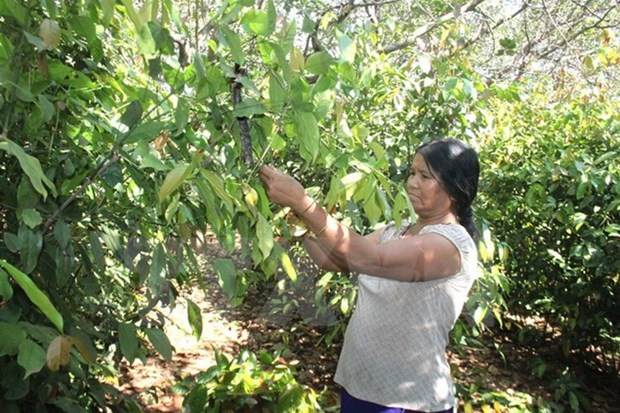 Vietnam y Camboya estableceran una vasta area de produccion de anacardos hinh anh 1