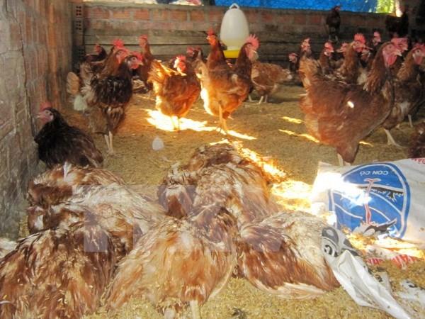 Detectan en Camboya nuevo brote de gripe aviar H5N1 hinh anh 1