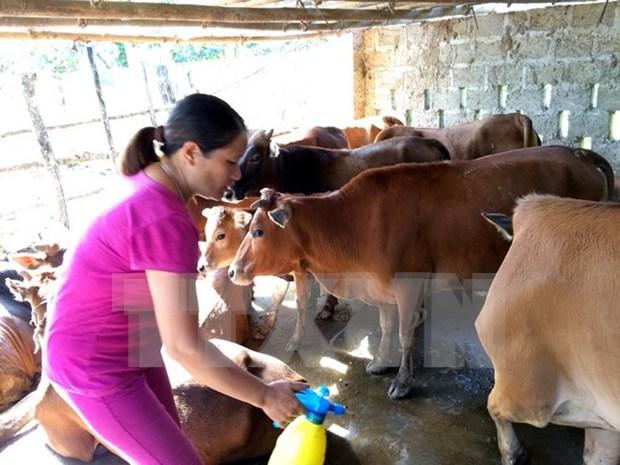 Vietnam inicia produccion general de vacuna contra fiebre aftosa del ganado hinh anh 1