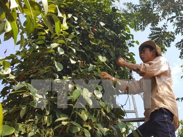 Aumenta valor de exportaciones de pimienta de provincia vietnamita a mercados europeos hinh anh 1