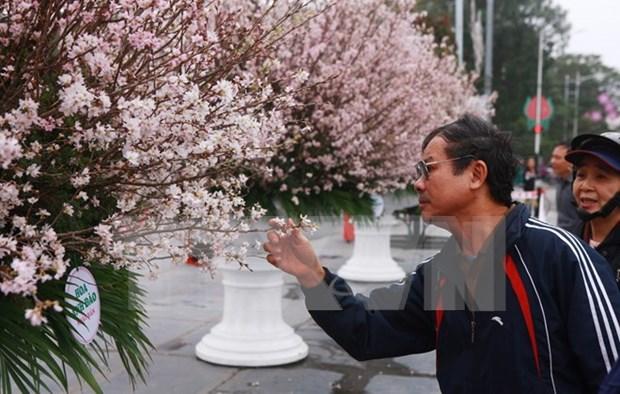 Celebraran en Hanoi Festival de Flores de Cerezo hinh anh 1