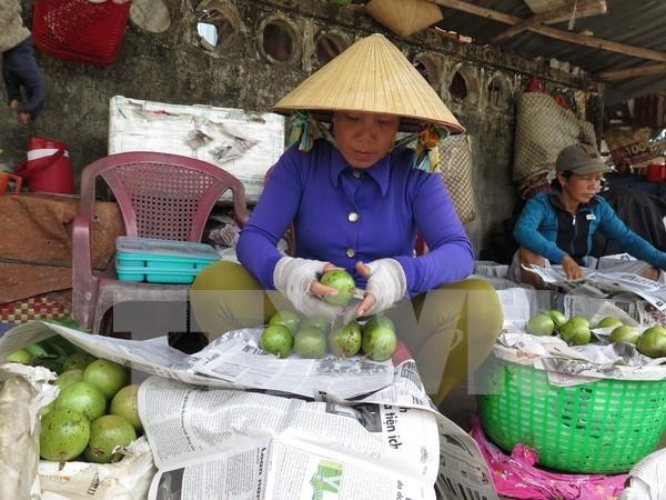Provincia sudvietnamita exportara primer lote de caimito a Estados Unidos hinh anh 1