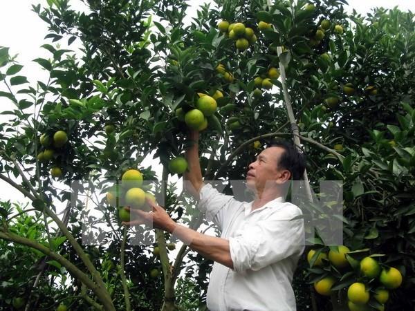 Naranja Vinh: producto nacional protegido en Vietnam hinh anh 1
