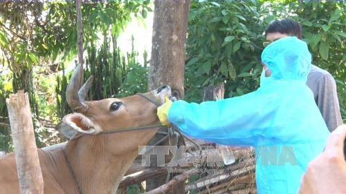 Pondran en circulacion vacuna contra fiebre aftosa producida por Vietnam hinh anh 1
