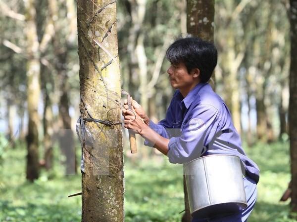 Tailandia reduce volumen de exportacion de caucho natural hinh anh 1