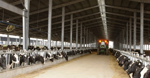 Granjas de TH True Milk en Rusia reciben primer rebano de vacas estadounidenses hinh anh 1